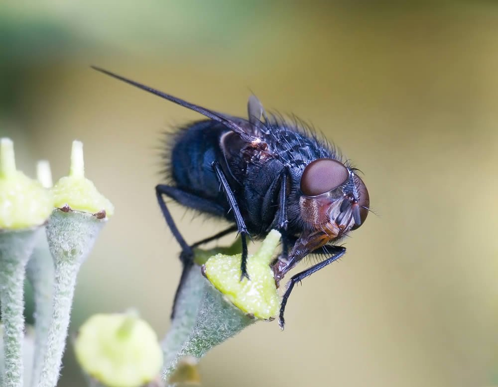 an overview of the widely known insect the house fly The buzz of a humble house fly is the sound of summer that no-one enjoys  a lot  to love about the humble fly, a clean insect that is largely misunderstood  and  did you know the dreaded mosquito is actually a species of fly.