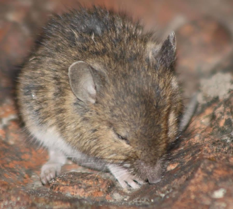 House mouse - Gallery of mice