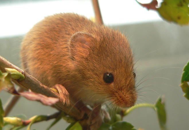 Harvest Mouse - Gallery of mice