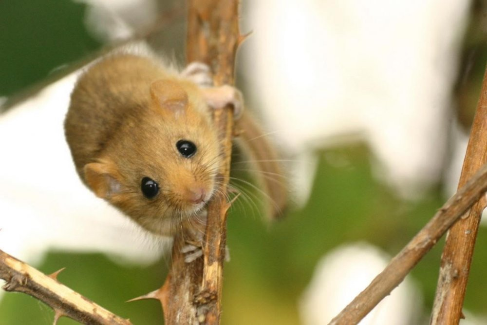 Dormouse also known as Hazel Dormouse - Gallery of mice