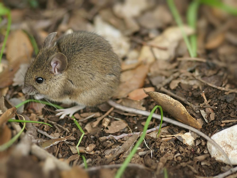 Wood Mouse - Gallery of mice