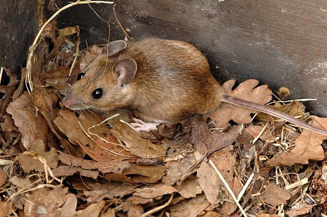 Yellow Necked Mouse - Gallery of mice