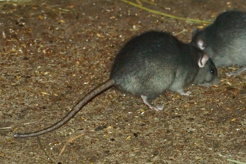 Wild black rats - Rats Gallery