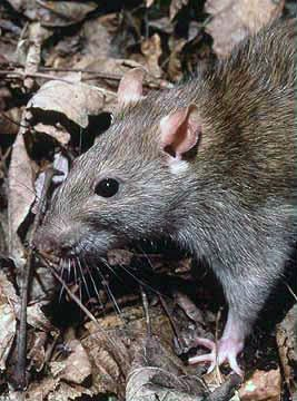 A Brown rat - One of the worlds true survivors! - Rats Gallery