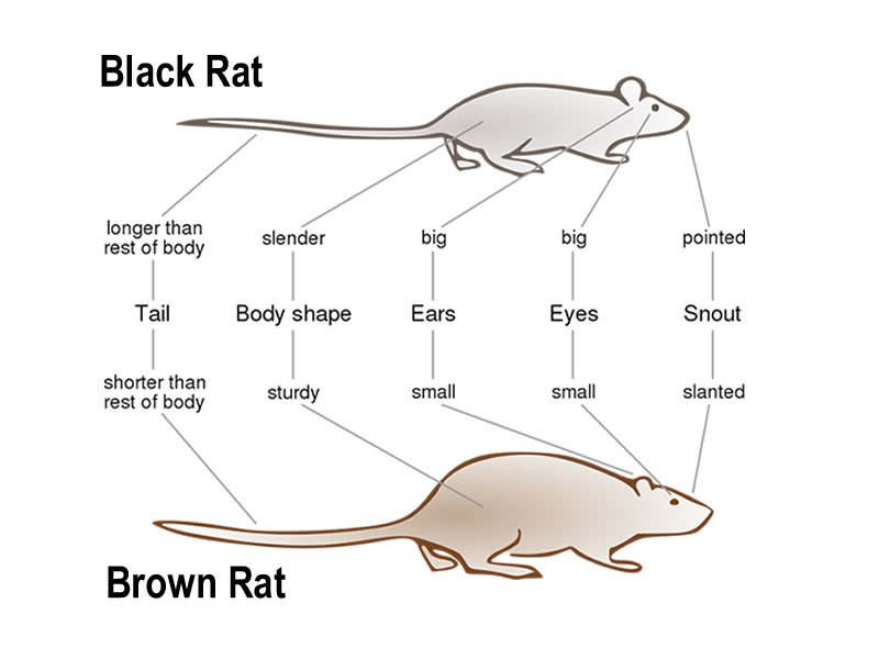 A comparison of the two major UK species of rats - Rats Gallery