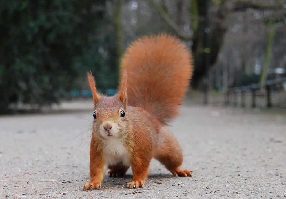 Red squirrel - Squirrel Gallery