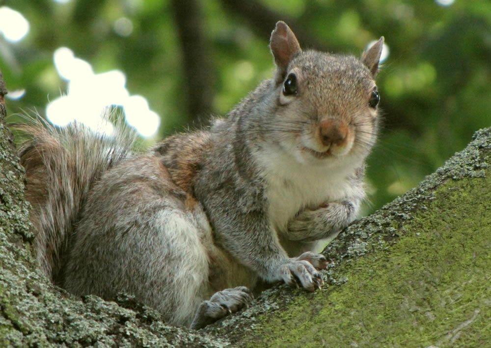 Gray Squirrel - Squirrel Gallery