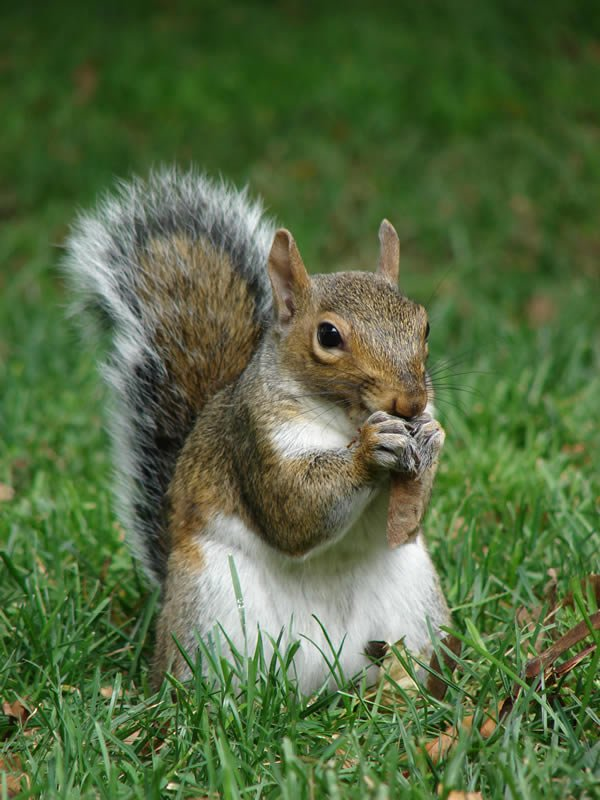 A gray squirrel eating a nut - Squirrel Gallery