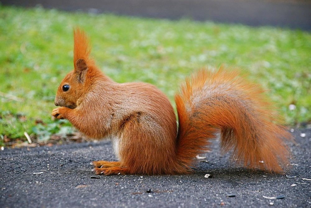 Another red, notice the ears tufts! - Squirrel Gallery