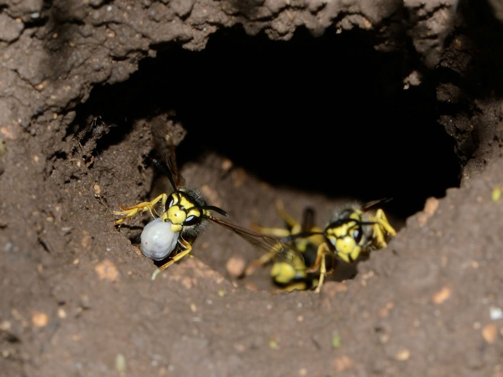 Wasps Nest Removal | Midlands Wasp Nest Removal | Complete ...