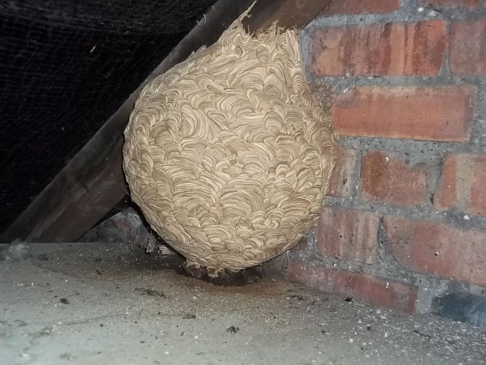 Wasps Nest Removal Midlands Wasp Nest Removal Complete