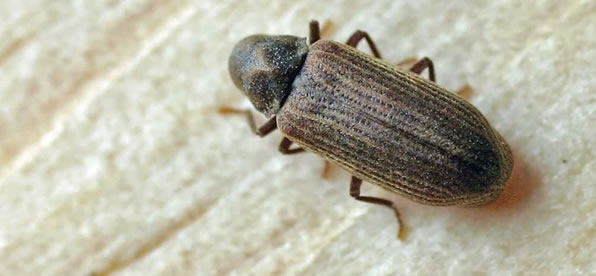 Carpet Beetle treatment