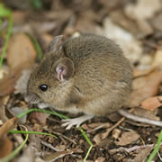 Wood Mouse Extermination
