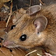 Yellownecked Mouse Control